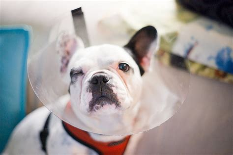 7 Health Conditions That Hit Dogs by Common Bulldog Health Problems Healthy Paws