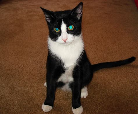 File:Kitty tuxedo   Wikipedia