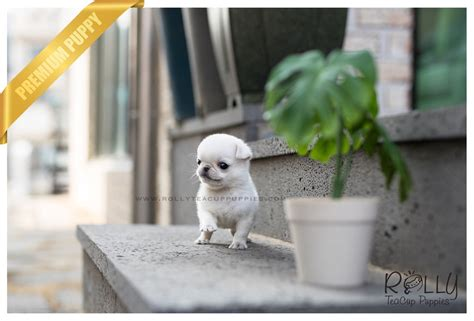 white pug puppies for sale near me sold to hill olaf pug m rolly teacup puppies
