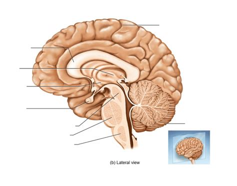 medial section of brain median section of the brain