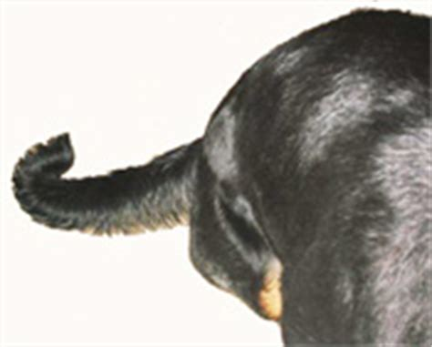 are rottweilers born without tails are all rottweilers born with tails