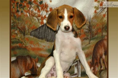 american foxhound puppies american foxhound www imgkid the image kid has it
