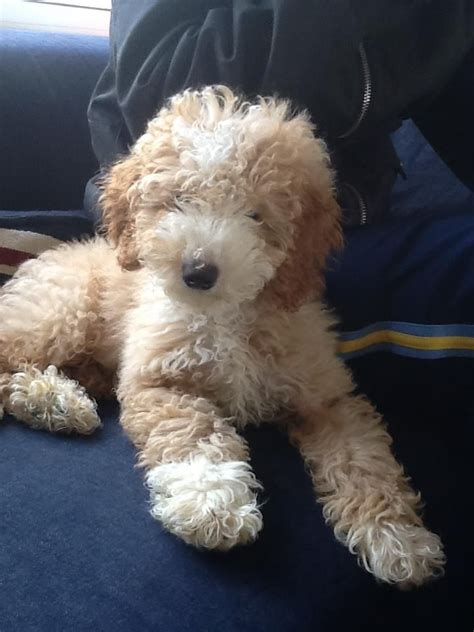 poodle puppies for sale florida tiny teacup poodle puppies for sale uk
