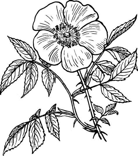 Outline Sketches Of Flowers by Black Outline Drawing Plants Flower White Flowers Domain Pictures Free Pictures