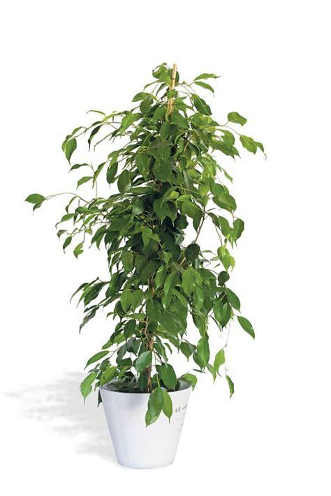 plantas de interior altas plantas de interior altas amazing el bamb es una planta