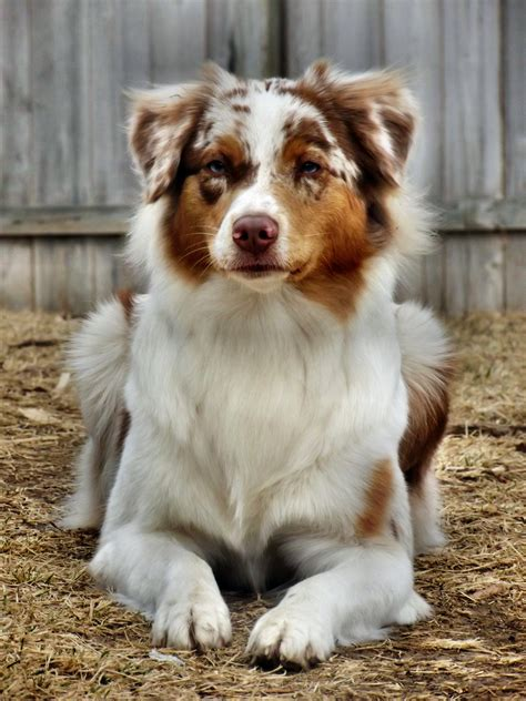merle aussie puppy if you could any breed of and any colour what would it be and why