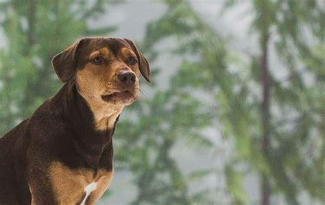 508763 a dog s way home upcoming american movie a dog s way home 2019 trailer released