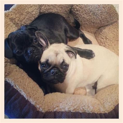 pug hug pug hugs puggy wuggy