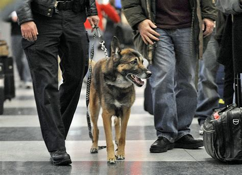 bomb sniffing dogs how reliable are bomb sniffing dogs minnesota radio news