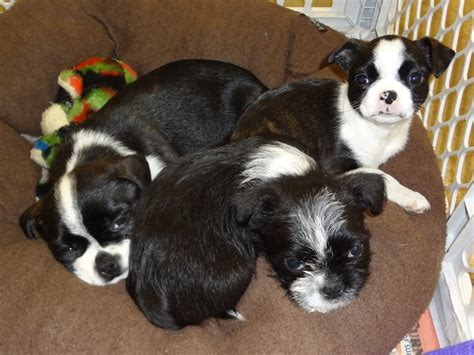 shih tzu and boston terrier mix shih tzu boston terrier mix pictures dogs in our photo