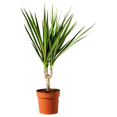 Beliebte Zimmerpflanzen Bilder by Zimmerpflanzen Arten Bilder Den Beliebtesten