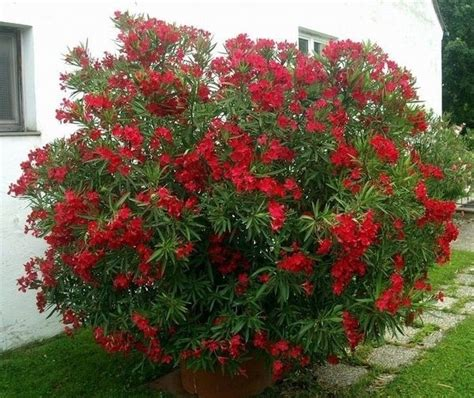 potatura oleandro in vaso oleandro speciali coltivare oleandro fiori oleandro