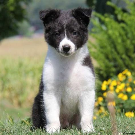 yorkie border collie mix terrier border collie mix merry photo