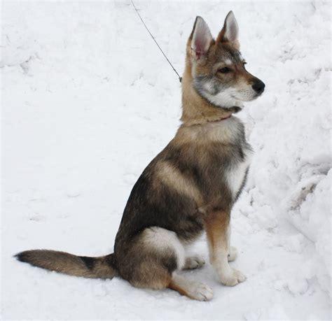 tamaskan puppy tamaskan beautiful animals