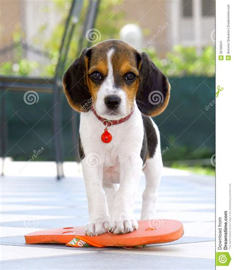 Flooring Plans by Cute Beagle Puppy Stock Image Image Of Happy Flooring
