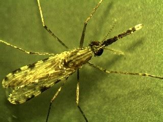mermithid nematodes  control malaria transmission