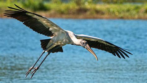 florida s wading birds had a terrible breeding season last