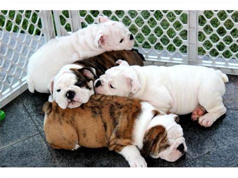 free puppies in san antonio dogs san antonio tx free classified ads
