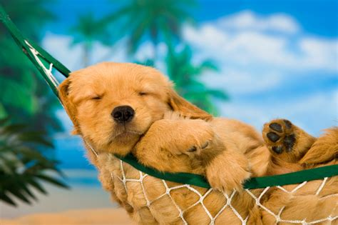 raising golden retriever puppies everything you need to to raise a golden retriever puppy right urdogs