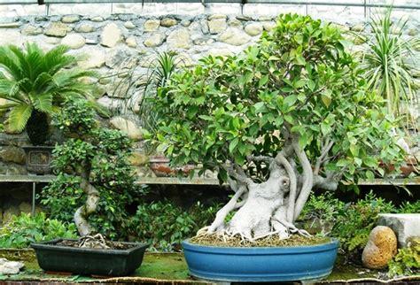 bonsai da interni i bonsai da interno e i bonsai da esterno consigli per la