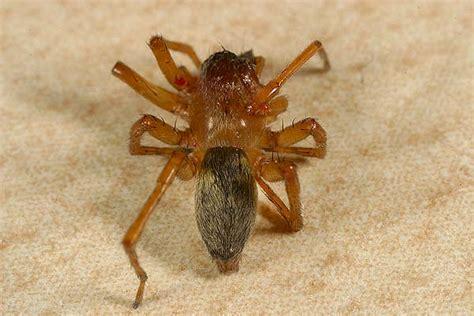 spinnen fernhalten wohnung dornfinger in der wohnung gt nein clubiona cf reclusa