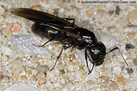 mobugs black carpenter ant