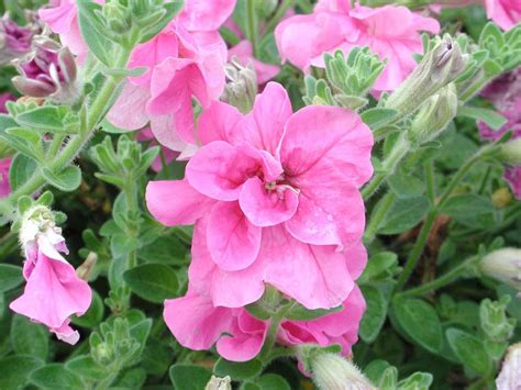 petunia supertunia double pink annual flower research at bluegrass lane