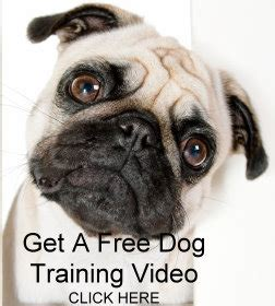 pug temperament and personality pug personality traits and how to if this type of is for you