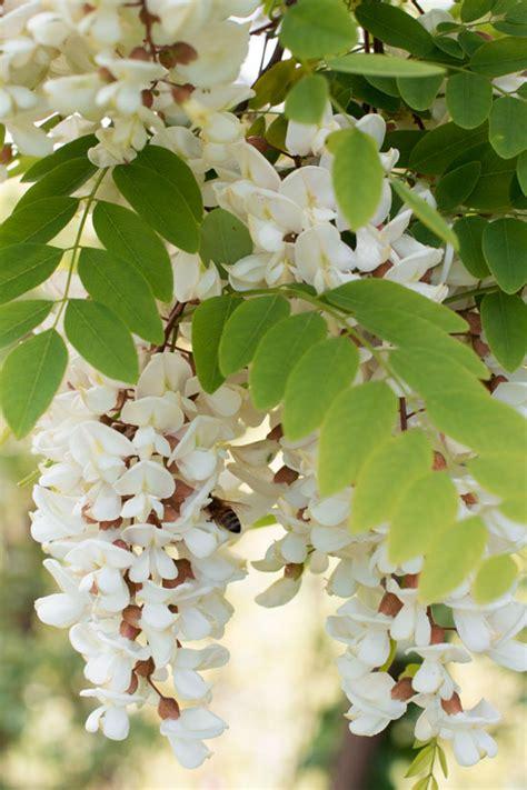 fiori d acacia panini al miele d acacia