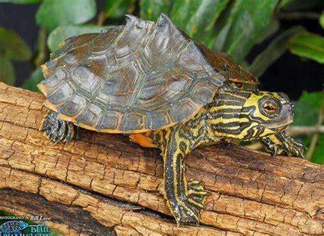 louisiana map turtle the lavish of henry june 2015