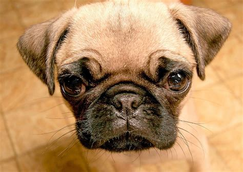average pug lifespan set of pug pictures on animal picture society
