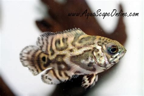 aquascape online what colour would this baby be as an adult oscar fish advice forum
