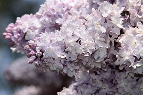 fiore lillà fiori di lilla fiori di piante lilla fiori