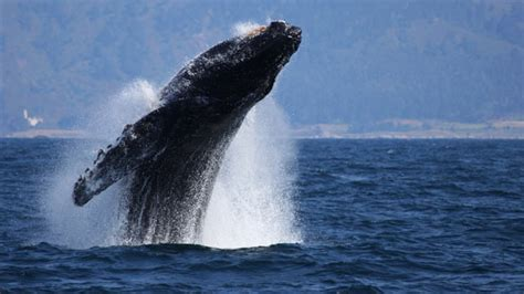 dead whale newhairstylesformen2014 com whale sinks boat video newhairstylesformen2014 com