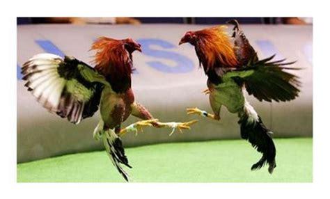 rep dominicana pelea de gallos blog de maximo noviembre 2013