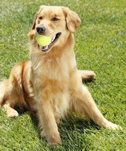 what is the average of a golden retriever 99 best images about breeds on spaniels large breeds and dogs