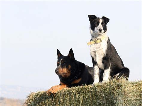 chagas disease in dogs chagas disease in dogs