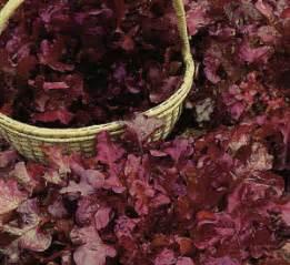 Benih Bibit Biji Selada Merah Lettuce Salad Bowl Lokal benih selada merah lettuce
