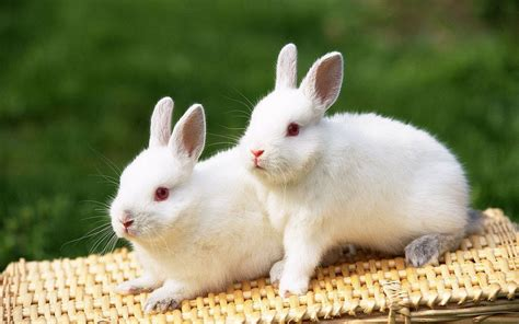 like a bunny huge albino bunny rabbit at animal shelter youtube
