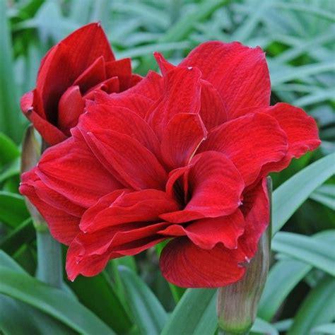 Amaryllis Zwiebel Einpflanzen 4509 by 203 Best Amaryllis Hippeastrum Images On