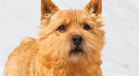 norwich terrier puppies image gallery terrier