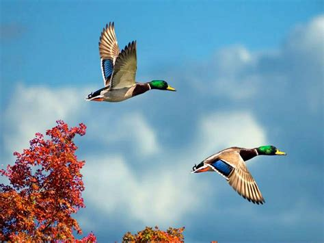 flying on flying birds wallpapers entertainment only