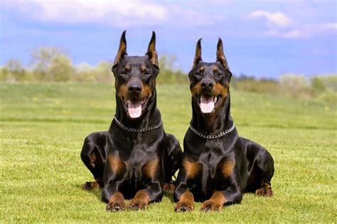 top 10 strongest dogs top 10 breeds with strongest bites
