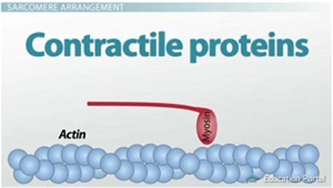 z protein definition the sarcomere and sliding filaments in muscular