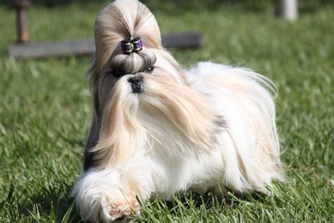 shih tzu breed characteristics shih tzu breed information shih tzu images shih tzu breed info