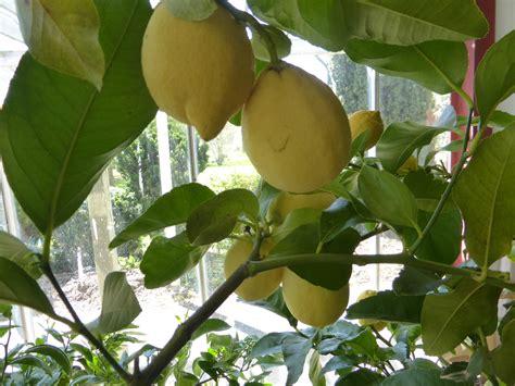 concime per limone in vaso concimazione limoni concime