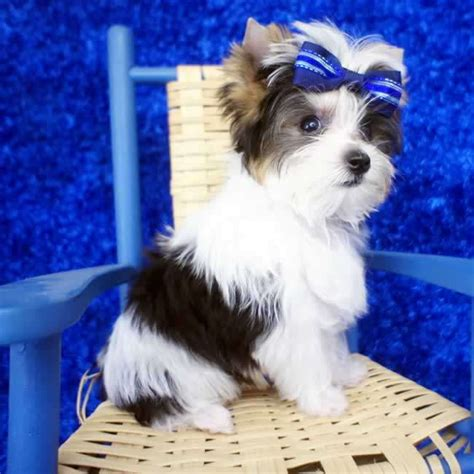 parti yorkie definition teacup poms auto design tech