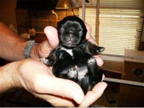 puppies for sale in statesboro ga pekingese puppies in