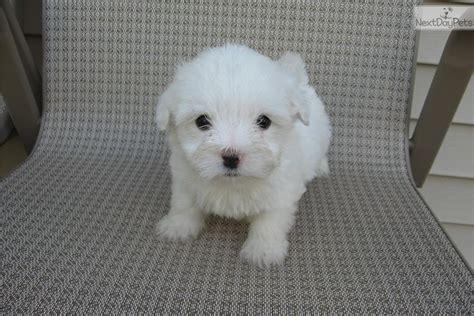 coton de tulear puppies for sale near me coton de tulear for sale for 1 500 near minneapolis st paul minnesota 5d028da7 6e21