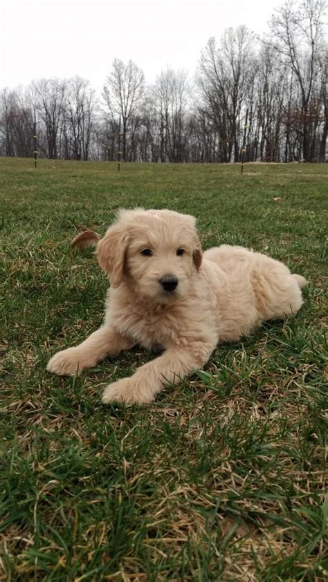 goldendoodle puppy rochester ny 17 best ideas about goldendoodles for sale on